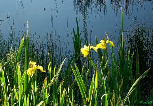 Sumpf-Schwertlilie k